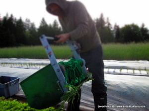 Greens Harvest