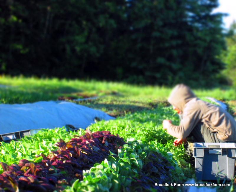 Bryan harvesting arugula