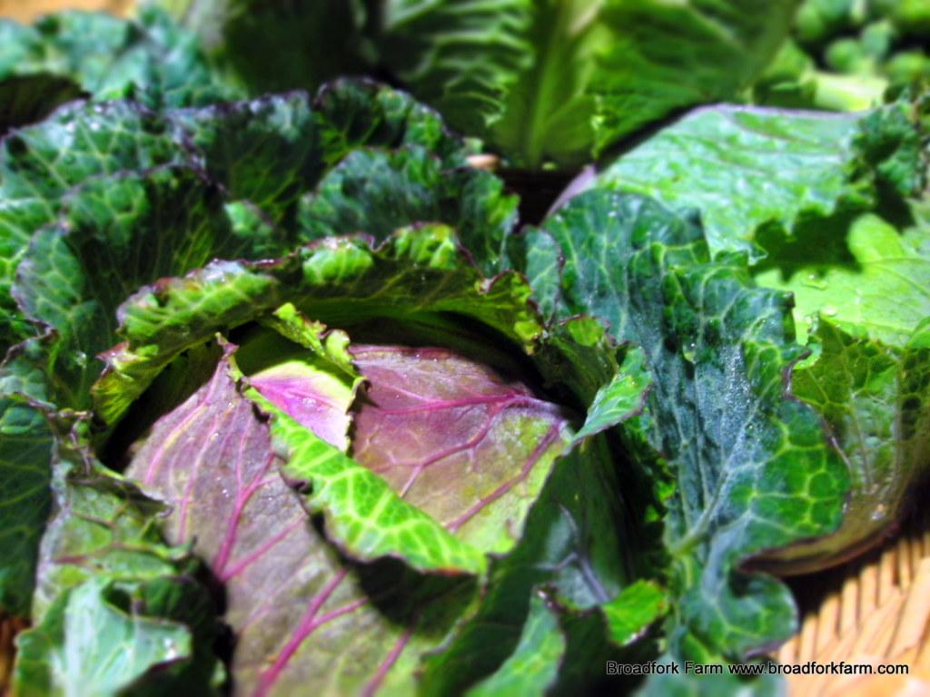 Deadon cabbage