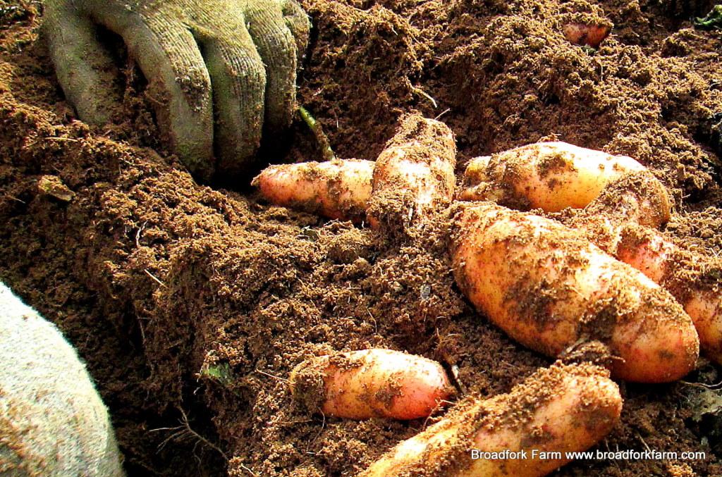 Pink fingerling potatoes