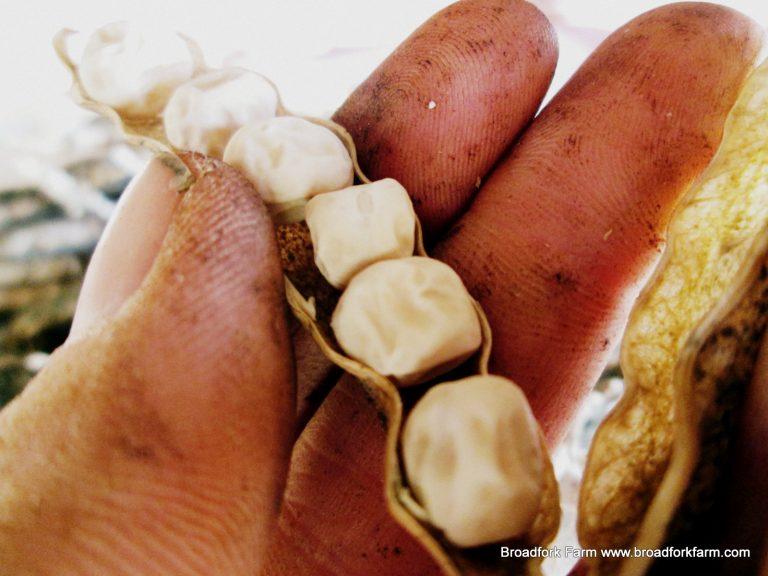pea seed saving